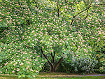Silk tree at the Arnold Arboretum in the Jamaica Plain neighborhood, Boston, Massachusetts, USA