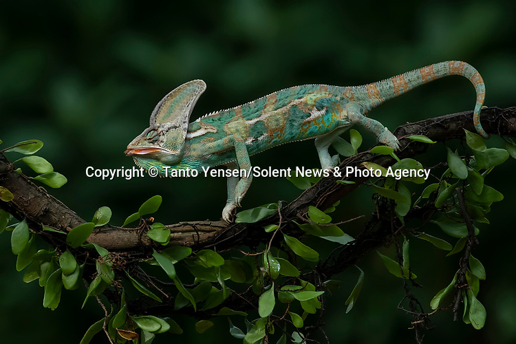 SEQUENCE 9 OF 9:  A chameleon balances on a thin branch as it catches a dragonfly with its long and sticky tongue.  The brightly patterned reptile leans forward to strike at the small orange insect.<br /> <br /> The images were captured by professional photographer Tanto Yensen, in Jakarta, Indonesia.   SEE OUR COPY FOR DETAILS<br /> <br /> Please byline: Tanto Yensen/Solent News<br /> <br /> © Tanto Yensen/Solent News & Photo Agency<br /> UK +44 (0) 2380 458800
