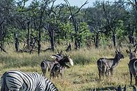 Africa, Botswana, Okavango Delta, Khwai private reserve. Ground horn-bill.