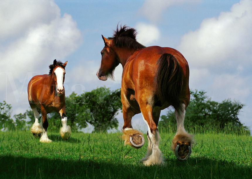 Two Clydesdale Draft Horse stallions.