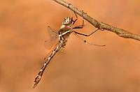 333250007 a wild male stream cruiser didymops transversa dragonfly perches on a small stick near bouton lake jasper county texas