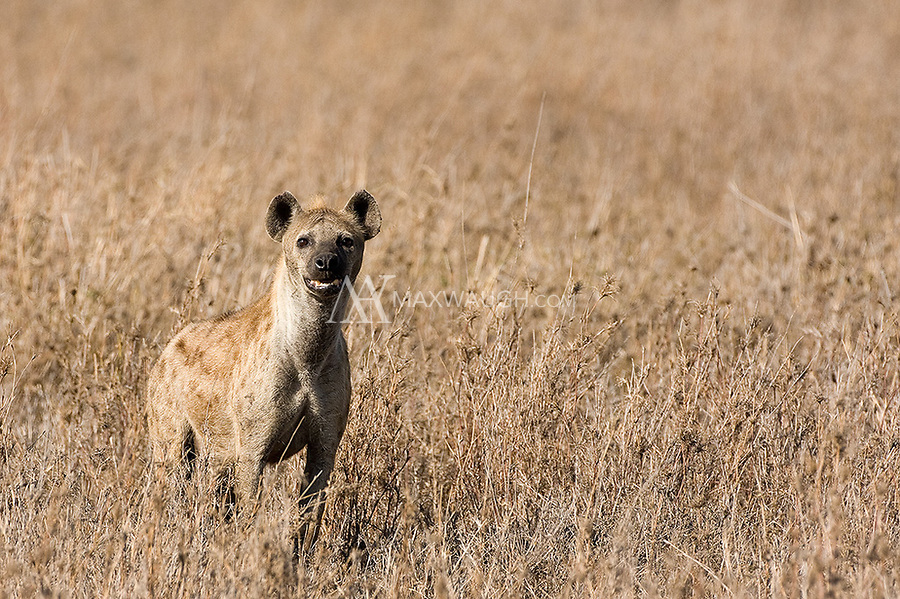 We'd occasionally see hyenas in the larger parks we visited.