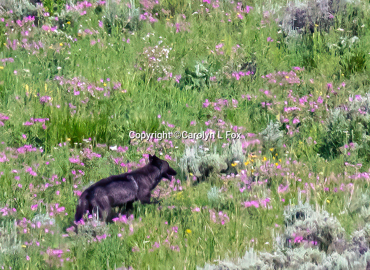 A black wolf walks through a field of wildflowers in Yellowstone.