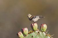 American Goldfinch (Carduelis tristis), adult winter plumage, Welder Wildlife Refuge, Sinton, Texas, USA