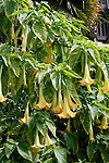 ANGEL'S TRUMPET, BRUGMANSIA SP.