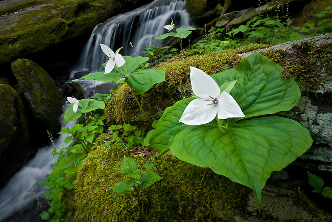 Sweet white trillium and spring cascade