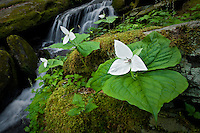 Sweet white trillium and spring cascade