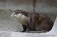 0508-1005  Cape Clawless Otter (African Clawless Otter or Groot Otter), Aonyx capensis capensis  © David Kuhn/Dwight Kuhn Photography.