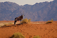 An Oryx (oryx gazella) in the NamibRand Nature Preserve, Namibia.