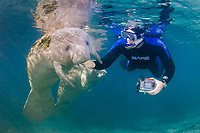 Florida Manatee, Trichechus manatus latirostris, A subspecies of the West Indian Manatee. Snorkelers and manatees interact in the warm spring waters of Crystal River, Florida. No MR