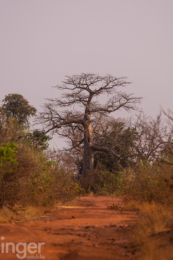 Baobab tree on top of the Fouta Djallon Massif in south eastern Senegal