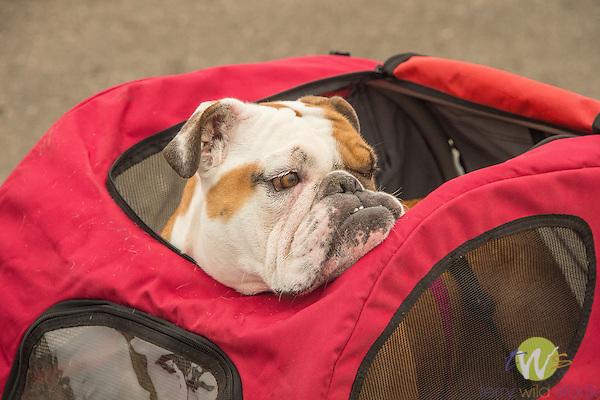 English bulldog in pet bike trailer.