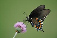 Pipevine Swallowtail (Battus philenor),adult feeding on Texas thistle (Cirsium texanum), Fennessey Ranch, Refugio, Coastal Bend, Texas, USA