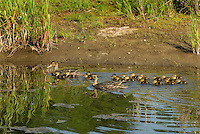 Mallard ducks (Anas platyrhynchos)--hen with young ducklings.  Pacific Northwest.  Spring.  Frequently, two mothers will band together to help protect their young.