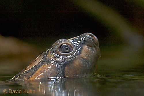 0519-07rr  Giant Amazon River Turtle - Podocnemis expansa - © David Kuhn/Dwight Kuhn Photography