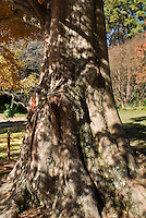 Metasequoia glyptostroboides Dawn Redwood tree trunk bark in autumn, one of original seedlings collected from the discovery in western China in autumn color