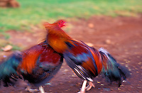 Two fighting cocks simulate a fight. A popular though illegal sport throughout the islands, it is often held in remote areas such as sugarcane and pineapple fields.