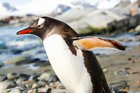 An adult gentoo penguin, Pygoscelis papua, returning to the ocean to feed on a rocky beach in Antarctica.