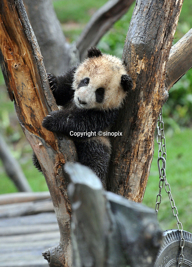 A six month old panda born from mothers evacuated from Wolong Panda base in Sichuan after last year's devasting earthquake, plays in a tree at the panda  kindergarten at Bi Fengxia Panda Research Base in the mountains of Sichuan, China.  Thirteen pandas in total were born from evacuated mothers were evacuated to the area which is famous for it's rainfall and bad weather.