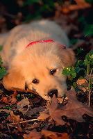 Portrait of golden retriever puppy lying in leaves.
