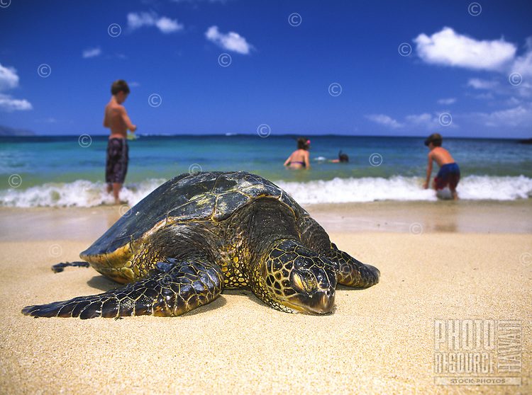 """Endangered Green Sea Turtles can be seen resting quietly at Laniakea Beach on Oahu's north shore. Their Hawaiian name is """"""""Honu"""""""". Scientific name (Chelonia mydas)"""