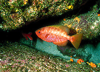 "Soldierfish, Heteropriacanthus cruentatus, are nocturnal fishes sometimes called """"GlassEye"""", tropical fish, close up, underwater. Galapagos Islands Ecuador Pacific Ocean, 650 miles west of South America."