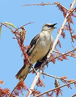 Adult northern mockingbird singing
