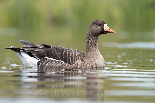 Greater White-fronted Goose (Anser albifrons). Washington County, Oregon. April.