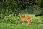 White-tailed doe in a summer field