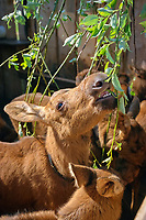 A Eurasian elk calf, Alces alces, eating willow leaves at the Sumarokova Eurasian elk farm. Kostroma, Russia, Arctic
