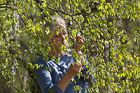 Birkenblätter-Ernte, Frau erntet Blätter von Birke im Frühling, Birkenblatternte, Birkenblatt-Ernte, Kräuterernte, Blatt, Blätter, Birkenblatt, Birkenblätter, Birkenblätter sammeln, Birke, Hänge-Birke, Sand-Birke, Hängebirke, Betula pendula, European White Birch, Silver Birch, Birch, warty birch, leaf, leaves, Le bouleau verruqueux, bouleau blanc
