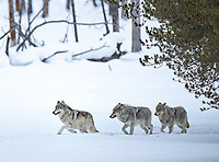 This was an incredible trip for wolves, highlighted by multiple encounters with the Wapiti Lake Pack, both in the northern road and in the park interior.