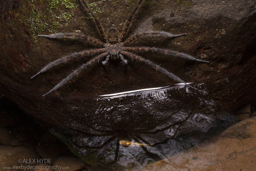 Fishing Spider {Trechalea} waiting to catch a Killifish {Cyprinodontiformes} in a rainforest stream at night. Central Caribbean foothills, Costa Rica. May.