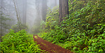 Redwood National Park, CA:  Trail through forest of redwood trees and rhododendrons blooming in fog