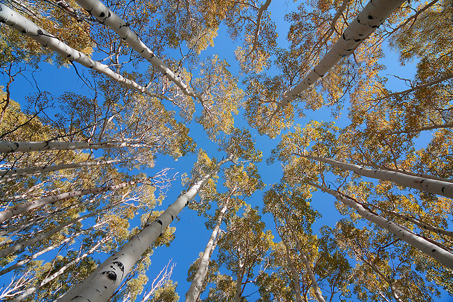 Aspen trees reach their fall color in Dixie National Forest, Utah