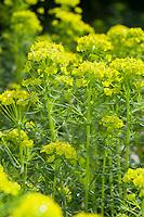 Zypressen-Wolfsmilch, Zypressenwolfsmilch, Wolfsmilch, Zypressen-Wolfmilch, Euphorbia cyparissias, Cypress Spurge