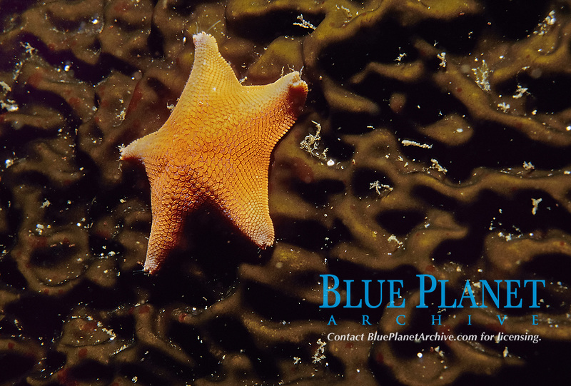Bat star, Patiria miniata, on kelp blade, Anacapa Island, Channel Islands, California, USA, Pacific Ocean