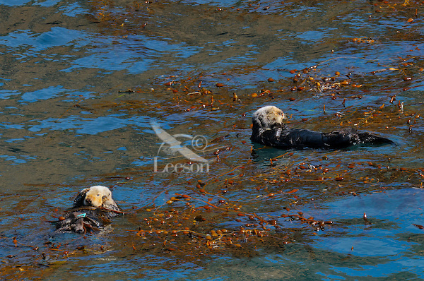 Sea Otters (Enhydra lutris) resting in kelp.  While sea otters don't always tie up in kelp while they rest, it is a common practice to keep them from drifting off with the tides.  The sea otter on the left has an identification blue tag on one of its hind feet.