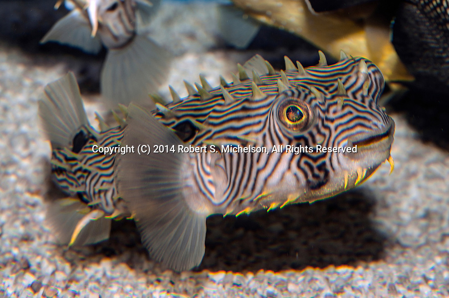 Striped burrfish swimming right