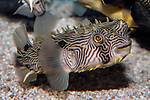 Striped burrfish swimming right