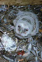 Waldkauz, Küken, Jungvogel im Nest, Strix aluco, Wald-Kauz, Kauz, Käuzchen, tawny owl