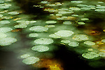 Abstract of lily pads on pond during rain, Tawau Hills Park, Sabah, Borneo, Malaysia