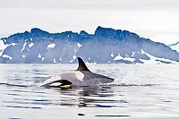 killer whale or orca, Orcinus orca, Type B orca, mother and calf, Antarctic Peninsula, Antarctica, Southern Ocean
