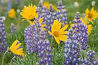 Wild wilflower garden--balsamroot and lupine.  Northwestern Wyoming.