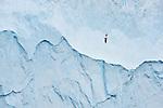 Wandering albatross (or snowy albatross, white-winged albatross or goonie) (Diomedea exulans) in flight next to a huge iceberg in the South Atlantic Ocean near South Georgia.