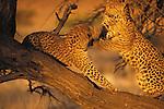Leopard, Londolozi Preserve, South Africa