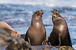 La Jolla, California; a pair of juvenile California sea lion pups resting on the rocky shoreline along the Pacific Ocean, in early morning sunlight