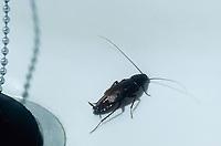 Gemeine Küchenschabe, Kakerlake, Bäckerschabe, Orientalische Schabe, Männchen, Blatta orientalis, Common cockroach, Oriental cockroach, waterbug, male