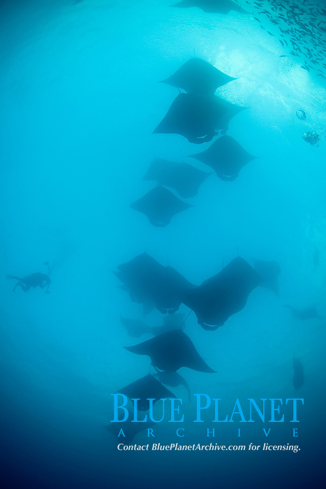 underwater photographer captures images of reef manta rays, Mobula alfredi, in feeding aggregation, streaming in through Hanifaru Bay entrance in search of plankton, Hanifaru Lagoon, Baa Atoll, Maldives, Indian Ocean