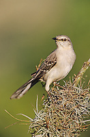 Northern Mockingbird, Mimus polyglottos,adult, Lake Corpus Christi, Texas, USA, May 2003